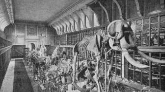 Naturhistoriska riksmuseet, stora däggdjurssalen i Westmanska palatset 1897