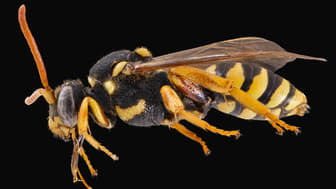 Parasitische Wespenbiene, Nomada italica