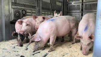 Lastade grisar som ska transporteras till ett slakteri. Foto: Sofia Wilhelmsson
