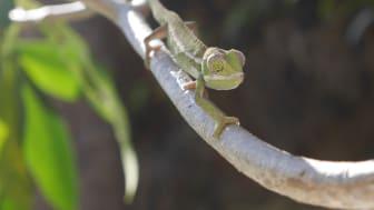 Kameleont - Madagaskar