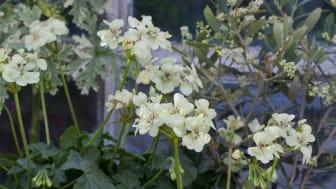 Årets Pelargon 2012:  Pelargonium ´First Yellow´