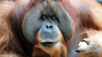 Orang-Utan-Männchen Bimbo steht bei den Entdeckertagen Artenschutz im Zoo Leipzig Pate