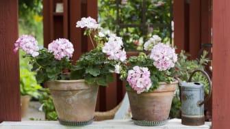 Pelargonen blommar som den vackraste Hortensia – kallas Hortensiapelargon. Kronbladens distinkta kant flyter ihop till en vit mitt, utan skarp zon.