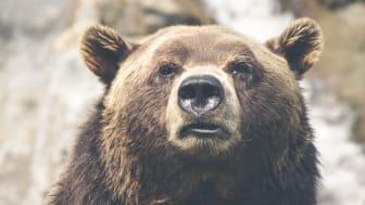Länsstyrelsen i Dalarnas län har fattat beslut om 2018 års licensjakt på björn