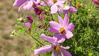 In voller Blüte: Bienen lieben Blumen!