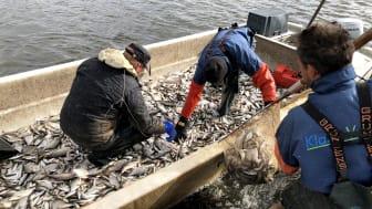 Specialistföretaget Klara Vatten under 2018 års reduktionsfiske i Svartbyträsket.