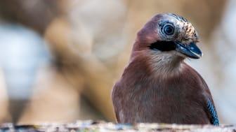 En nötskrika. En av flera arter som man tidigare trott löser problem genom att förstå vattens och sands fysiska egenskaper. Ny forskning visar att kråkfåglar lär sig lär sig lösa problem genom trial-and-error. Foto: Johan Lind/N.