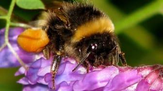 Jordhumle i arbeid. Her får du tips til hvordan du kan legge til rette for humlene og andre insekter. Foto: Tor Bollingmo.