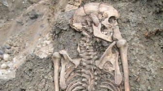 Skelett från vuxen man begravd i Sigtuna på 1000-talet. Skelettet upptäcktes när arkeologer fällde ett träd på en gammal kyrkogård 2008.