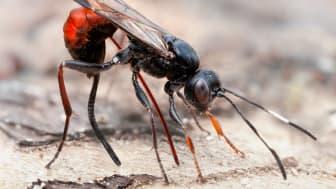 Den artrikaste insektsgruppen i Sverige är steklar. Foto John Hallmén.