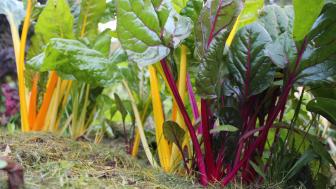 Mangold med jordekke av gras. Foto: Marit Grinaker Wright