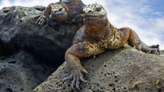 HRX, Galapagos, Marine-Iguans_©kjorgen-iStock-GettyImages.jpg