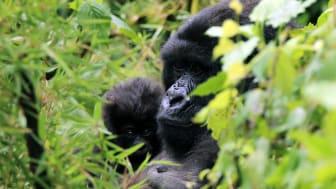 Klimaschutz zur Erhaltung des Lebensraums für Berggorillas in Ruanda, Bildquelle: myclimate