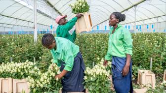Det finns ett stort arbete kvar för att skapa bättre arbetsvillkor för anställda på världens blomplantager. Foto: Fairtrade Sverige.