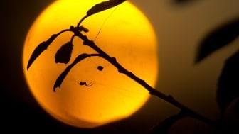Svanninge Bjerge, insekt foran aftensolen