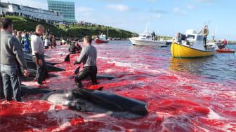 Schockierende Grindwalmassaker im Hafen der Färöer-Hauptstadt Tórshavn mit Einheimischen und Touristen