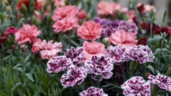 Trädgårdsnejlika i kruka – sommar inne och ute