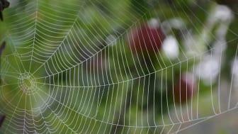 Spindelnät. Foto: Anna Rising