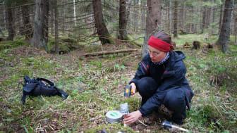 Lokalt kallare platser kan bli viktiga för temperaturkänsliga växter och den biologiska mångfalden i ett förändrat klimat. Caroline Greiser installerar instrumentet som loggar temperatur i skogen. Foto: Lina Widenfalk