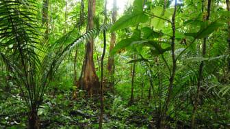 Palmer i Amazonas.