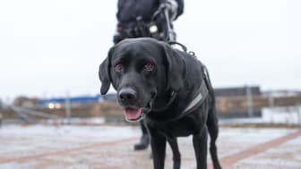 Boy från Haparanda är Årets narkotikasökhund 2018