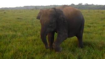 Das gerettete Sumatra-Elefantenkalb Sapon (weitere Bilder s.u.)