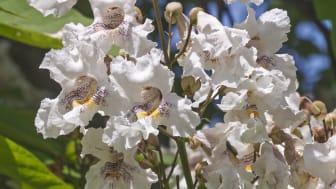 Praktkatalpa i blom, foto från Mostphotos.