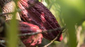 Enligt rapporten från ILO och Unicef har man bland annat sett en ökning av barnarbete inom kakaobranschen i Elfenbenskusten. Foto: Fairtrade Sverige