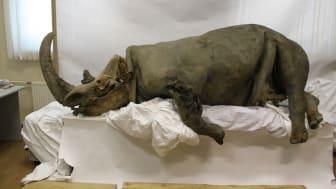 Vuxen ullhårig noshörning funnen vid Kolymafloden i Ryssland. Foto: Sergey Fedorov