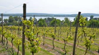 Wasser und Wein - beides kann man in Brandenburg genießen, wie hier in den Weinbergen Werder/Havel. Foto: TMB-Fotoarchiv/Maria Falkenberg.
