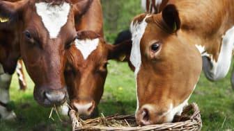 För Skånemejerier är det viktigt att fodertillskottet fungerar bra för kornas välbefinnande.