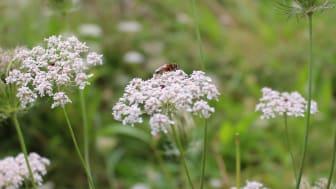 Hopwood Park Wildflower Meadow