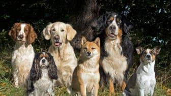 Rapport om de svenska hundarna