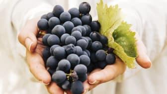 Lär dig hur ett vin blir till under skörden på The Winery Hotel - 17-18 september 2021
