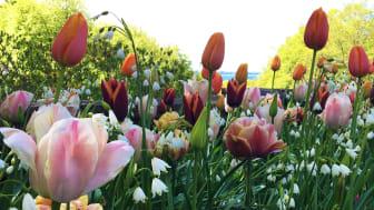 Bakom årets vårflor på Sofiero står landskapsarkitekten Mona Wembling. Foto: Mona Wembling