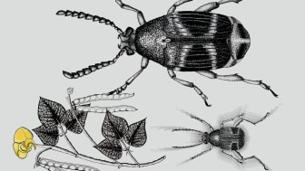 Hane och hona av bladbaggen Callosobruchus maculatus och växten den lever av, Vigna radiate. Bilden visar storleksförändringen efter selektion. Illustration: Paula Vasconcelos