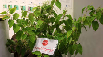 Estate agents in the UK do not want to sell houses with Japanese knotweed on the property. This invasive plant is extremely difficult to eradicate and often causes damage to buildings.