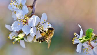 EU-projekt med det nordiska biet i fokus