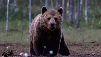 Skandinavisk brunbjörn