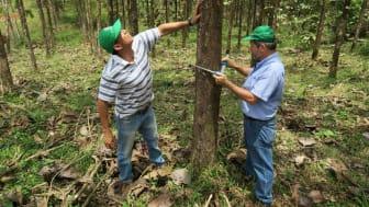 Die Forstingenieure von Life Forestry erkennen die besten und gesündesten Bäume und schaffen mit der Zwischenausforstung den nötigen Platz für ein optimales weiteres Gedeihen der übrigen Bäume. Bild: Lifeforestry