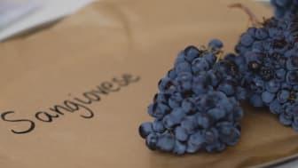 Nyplockade druvor från Toscana