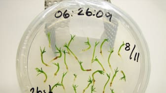 Somatiska embryon av gran utvecklas till flera identiska individer i en petriskål. Foto: Eva Persson