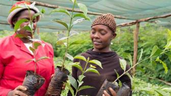 Zoégas utbildar ytterligare 42 000 kaffebönder i Kenya