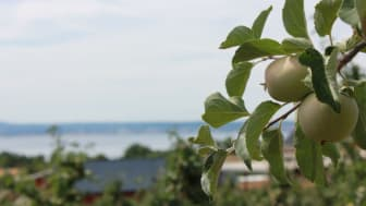 På Rudenstams odlas det främst äpplen, men även vinbär, jordgubbar och massa annat gott.