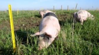 Tema ekologisk grisproduktion hos SLU i Alnarp
