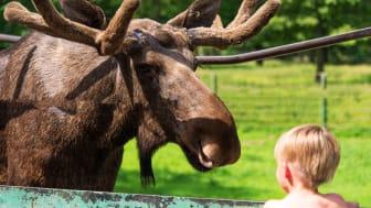 Bli älgfadder och hjälp Skånes Djurpark att ta sig igenom coronakrisen.