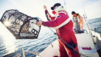 Hummerfiskare kastar ut tina