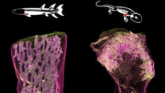 Bilden visar den uppdelade inre uppbyggnaden av ett ben från en 380 miljoner år gammal lobfenig fisk (vänster) som skiljer sig från den öppna märghålan i tetrapoden Discosauriscus överarmsben (höger) där hematopoes kan ske. Bild: Sophie Sanchez