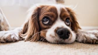 """For mange hundeeiere er det ekstra mye """"blåmandag"""" etter sommerferien, blant annet fordi hjemmekontor ikke lenger er en like stor selvfølge for alle."""