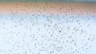 Stigande temperaturer gör bland annat att mikrobspridande vektorer, såsom myggor, breder ut sig mot polerna. Foto: Mostphotos.